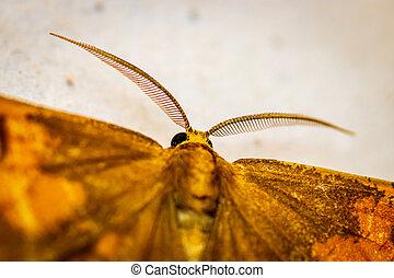 Orange moth (Angerona prunaria)