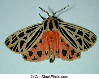 Orange moth - Beautiful orange and black moth. Macro.