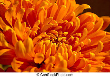 Orange Mum - Closeup of a nice fall mum.