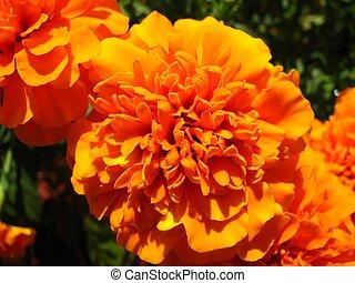 Orange Mum - Macro shot of an orange mum.