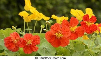 Orange nasturtium flowers - Bright orange nasturtium flowers...