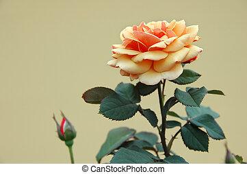 Orange Ochre Rose