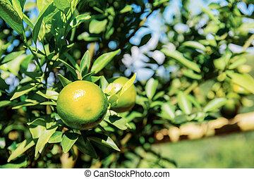 Orange on tree with sunlight.