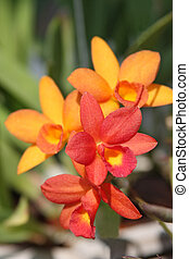 Orange orchid