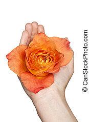orange, ouvert, paume, rose