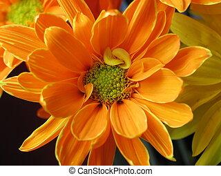 orange, pâquerette
