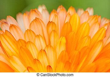 orange, pétales, fleur, fond