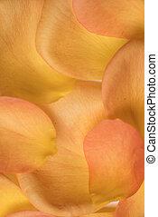 orange, pétales, fond, rose