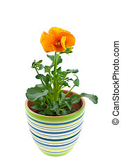 orange pansy\'s sprout in ceramic pot