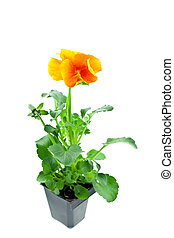 orange pansy\'s sprout in plastic pot
