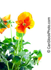 orange pansy\'s sprout