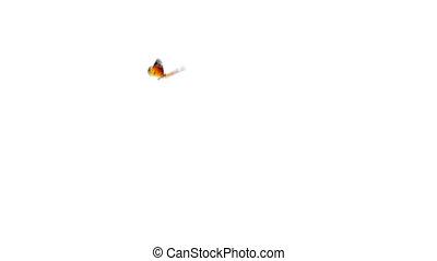 orange, papillon, animation