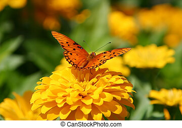 orange, papillon
