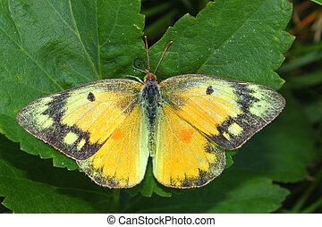 orange, papillon, schwefel, eurytheme), (colias