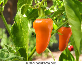 Orange paprika - Orange peppers are still on the plant are...