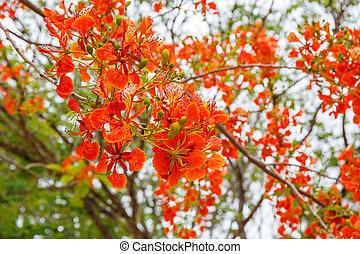 orange peacock flowers