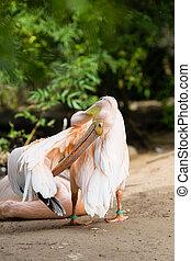 Pelican. Big bird