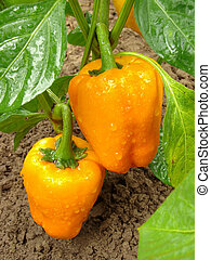 orange peppers ripening on the vegetable bed