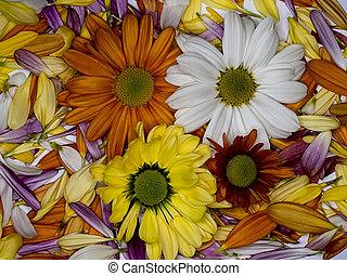 orange, petals), (background, chrysanthème, blanc