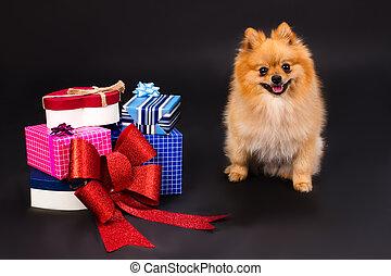 Orange pomeranian spitz and gift boxes.