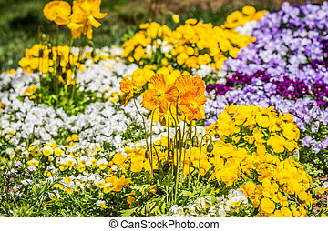 Orange poppies and pansies in a garden