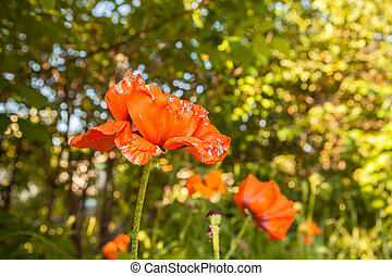 orange poppies blooming in the garden