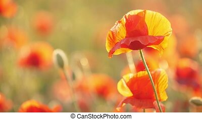 Orange poppies blossoming in a lovely area in Ukraine in the...