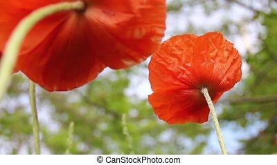 Orange Poppies - Orange poppies swaying in wind, shot form...