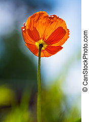 orange poppies photographed from below