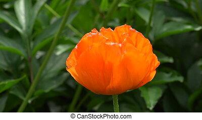 Orange poppy. 4K.