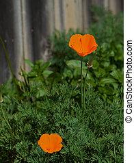orange poppy fence