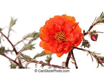 Orange portulaca