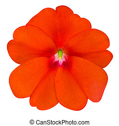 Orange Primrose like Flower Isolated on White