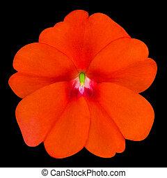 Orange Primrose like Flower Isolated on Black