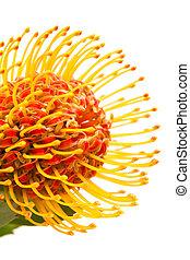 orange protea flower