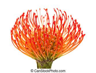 orange protea isolate don white background