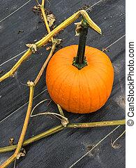 orange pumpa, in, höst, trädgård