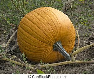 orange pumpkin in the field