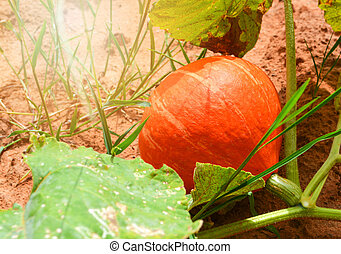 Orange pumpkin plant tree growing on vine ground on organic vegetable garden agriculture farm