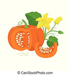 Orange pumpkin vegetable with green leaves, yellow blossoms and pumpkin seeds botanical illustration isolated on white background. Cucurbita pepo fruit in flat design. Cross section of pumpkin.