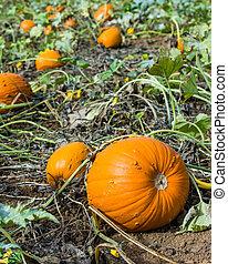 Orange pumpkins in a farm field - Field with pumpkins and ...