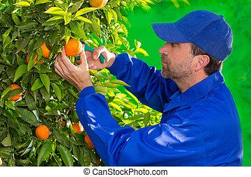 orange, ramassage, paysan, mandarine, homme