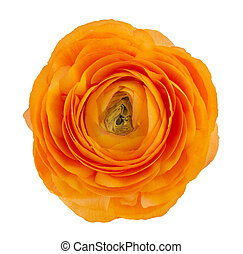 ranunculus asiaticus buttercup flower - Orange ranunculus ...