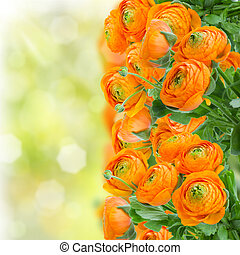 orange ranunculus flowers border on green garden background