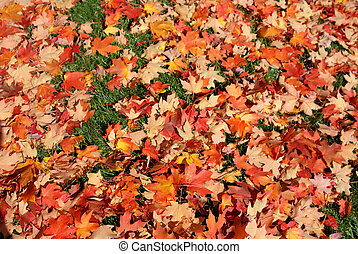 Orange red Maple leaves in Fall