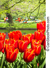 Orange-red tulips in spring in park