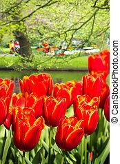 Orange-red tulips in spring in park