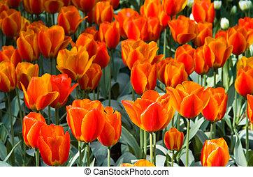 Orange-red tulips in spring