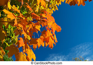 Orange, Red, Yellow Maple Leaves on Tree Fall Autumn Sky -...