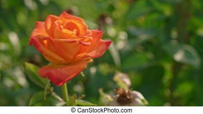 Orange rose blooming blossom bush in botanical garden in 4k close upshot. Tender blooming flower rose in garden backlit